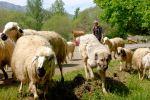 Schafe und - upps -  ein Hund und der Schäfer