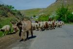 Eine Schafherde läßt unsere anfängliche fotografische Zurückhaltung (wir wollen ja Strecke machen) dahinschwinden.
