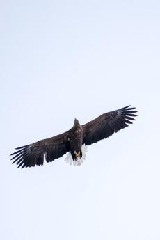 Plötzlich ein Seeadler direkt über uns, wahre Flugkünstler