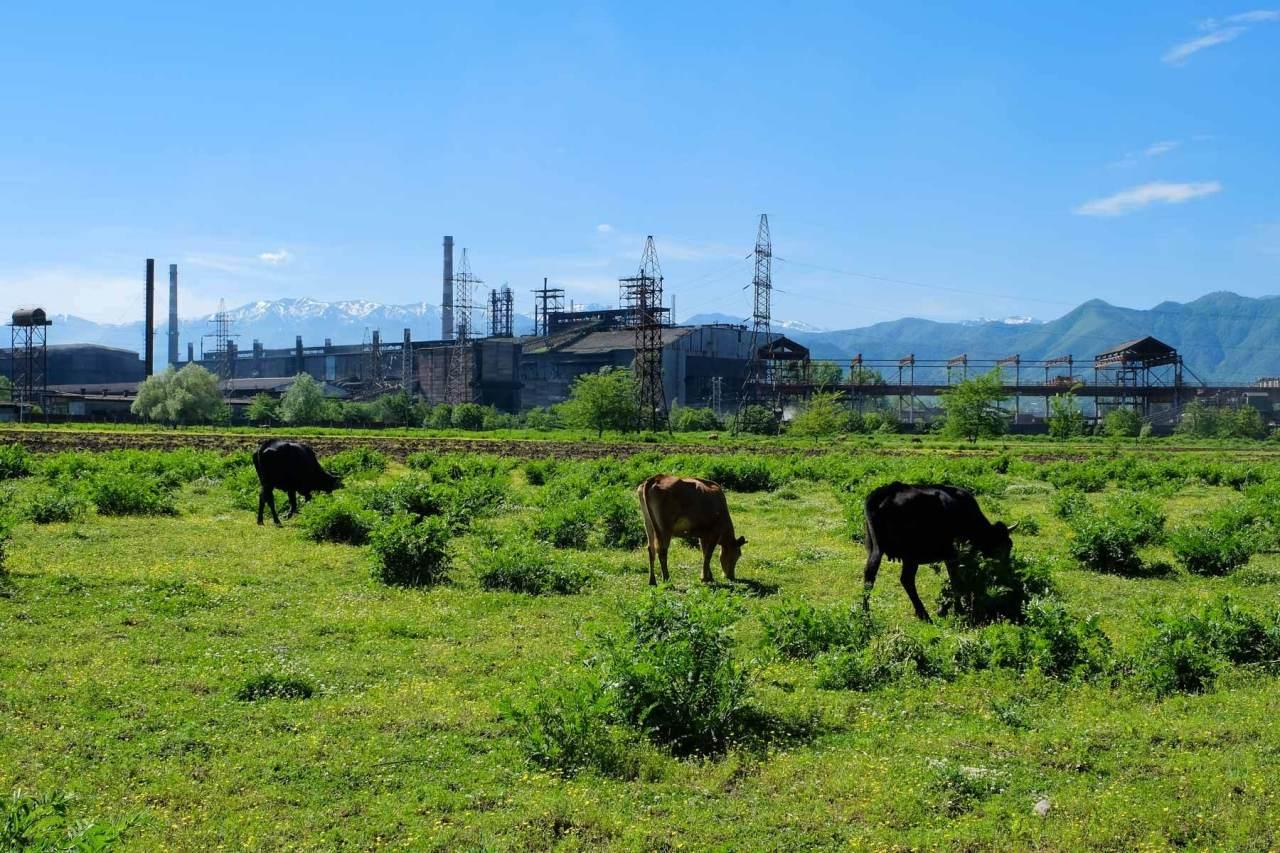 Industriekultur mit Kühen