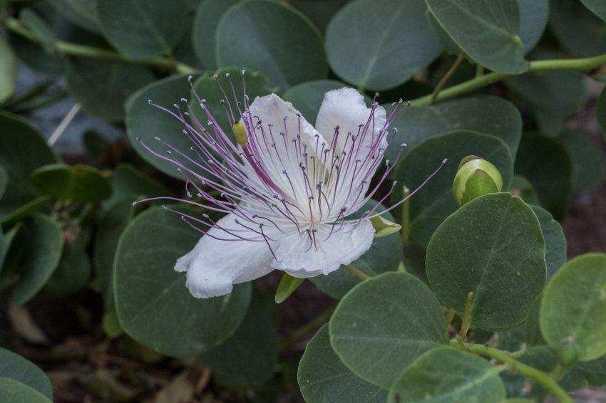 Typische Blüte auf Lipari -Kapern