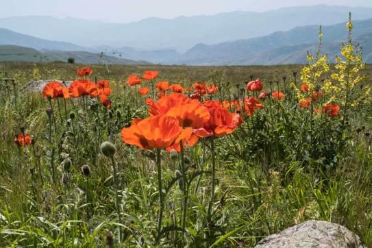 Mohnblüte auf dem Vardenyatspass (2400m)