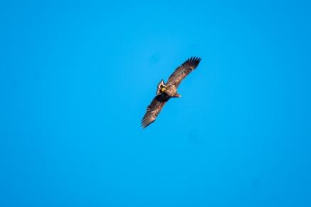 Und der erste Seeadler