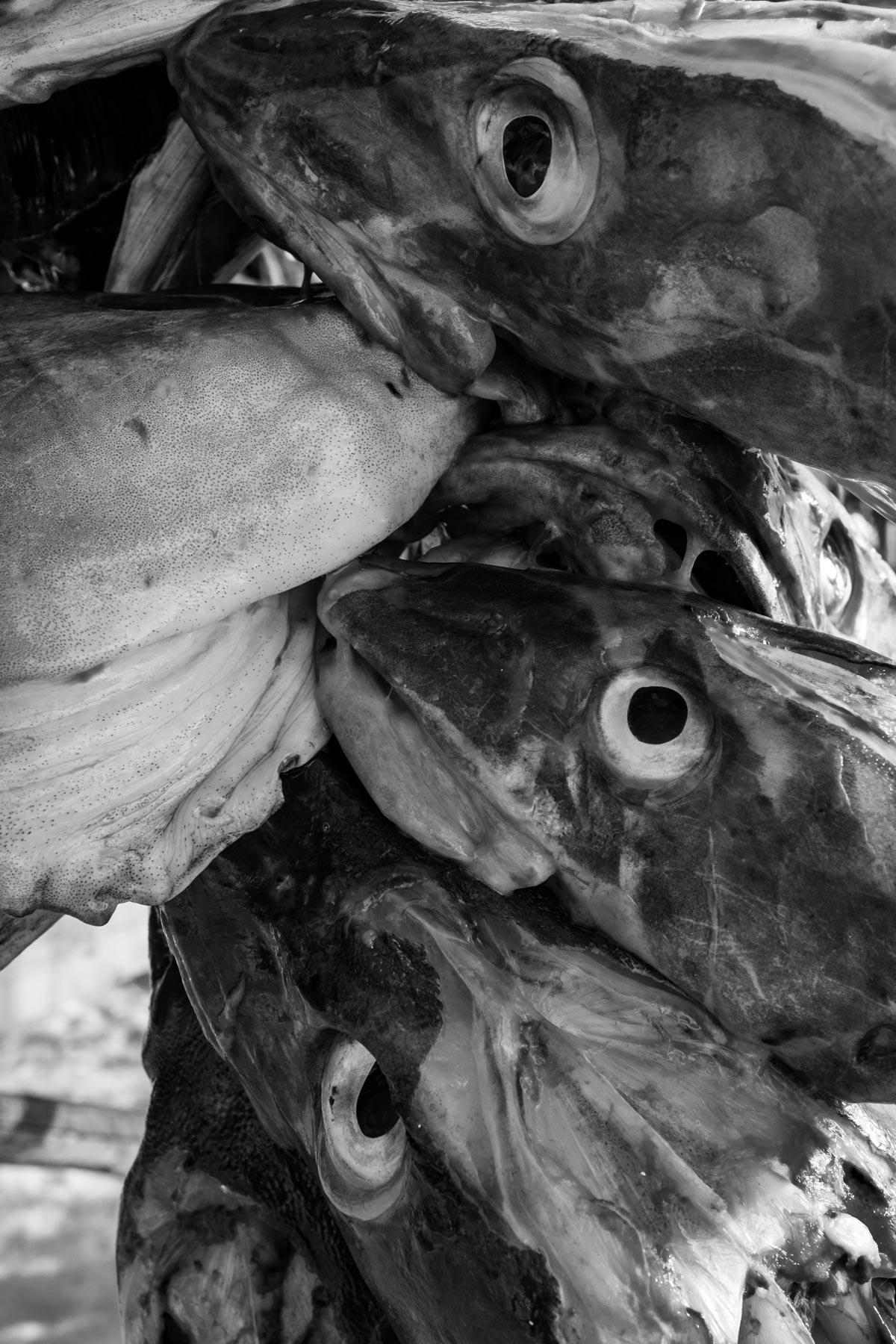 Fischköpfe warten auf Trocknung